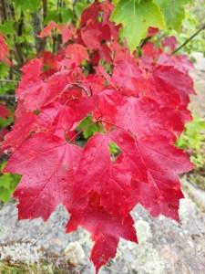 rote Ahornblätter im Indian Summer