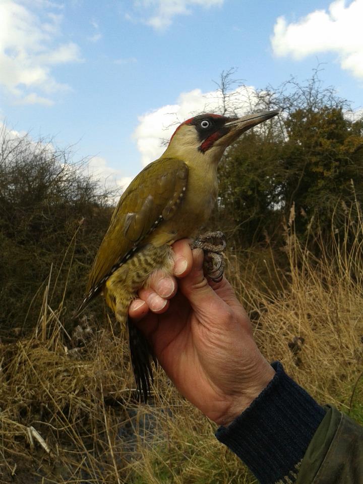 Male Green Woodpecker