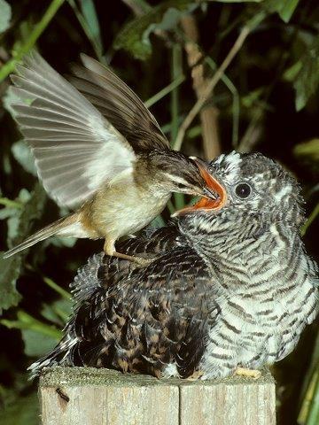 Sedge Warbler feeding Cuckoo fledgling