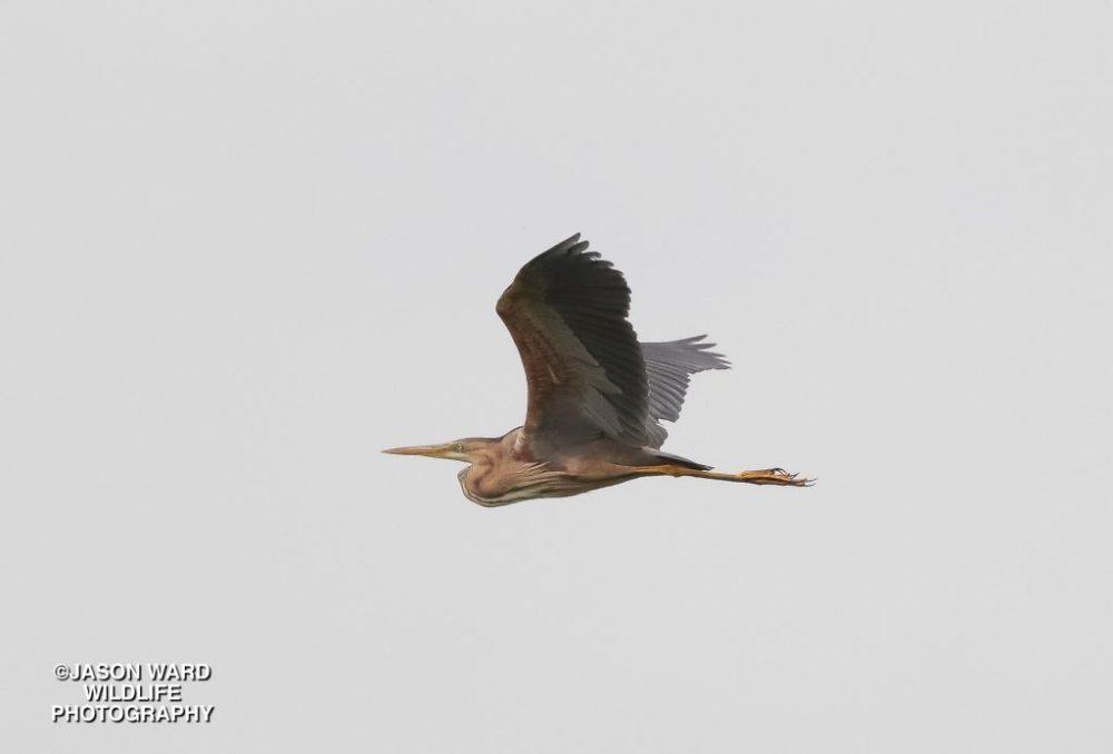 Purple Heron (Jason Ward)