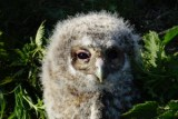 A close encounter with Tawny Owlets