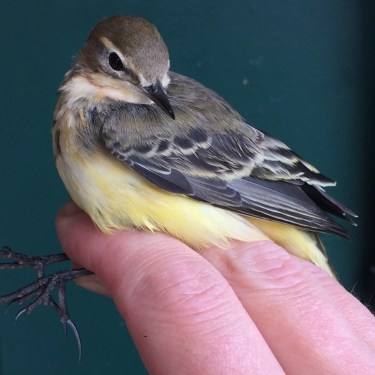Yellow Wagtail in the hand