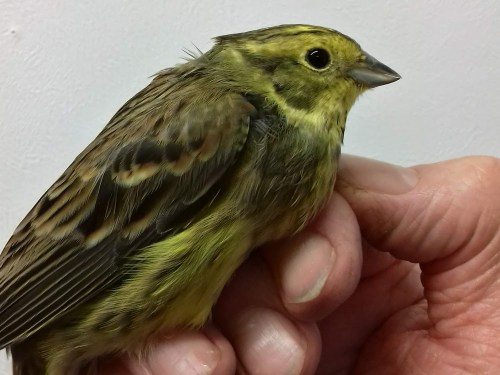 Yellowhammer in the hand