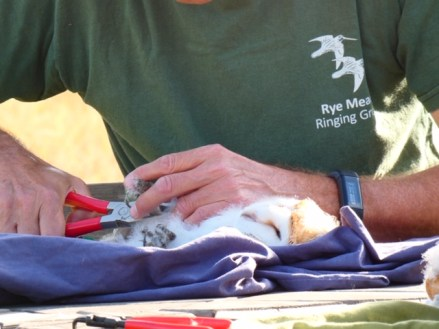 Barn owl chick is being ringed
