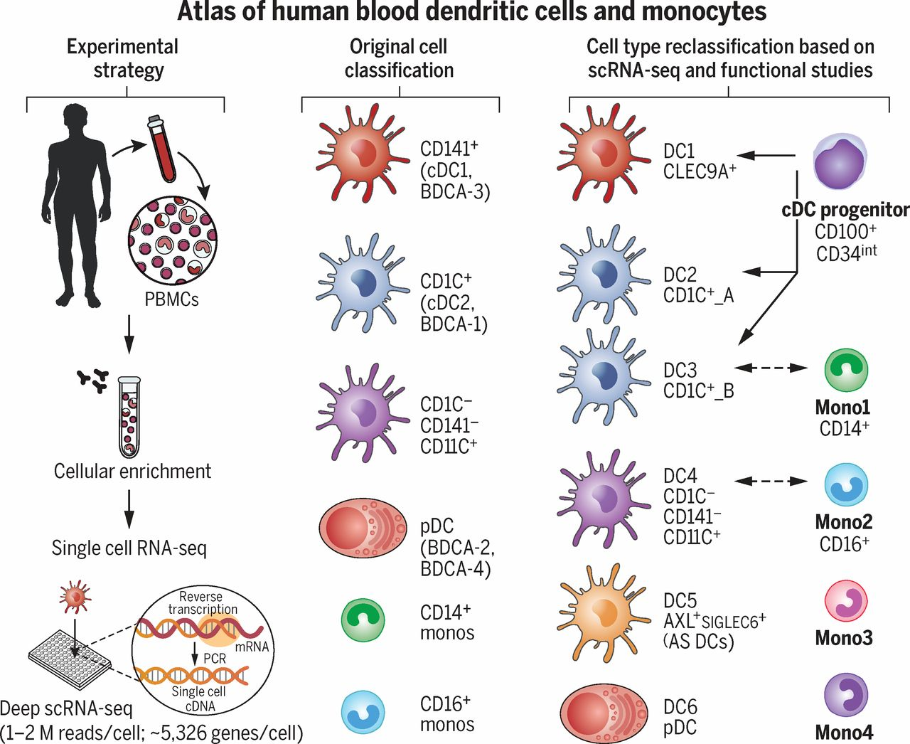 Single Cell Rna Seq Reveals New Types Of Human Blood Cells