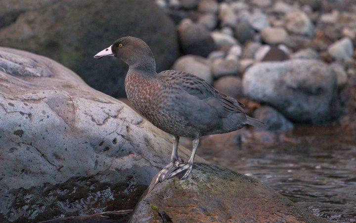 Blue duck/whio are a taonga (treasured) species found in the 133 hectare block in Taranaki.