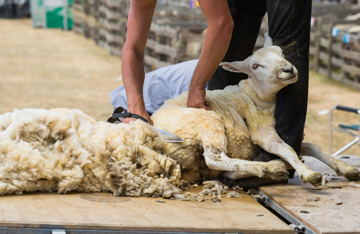 Shearing sheep.