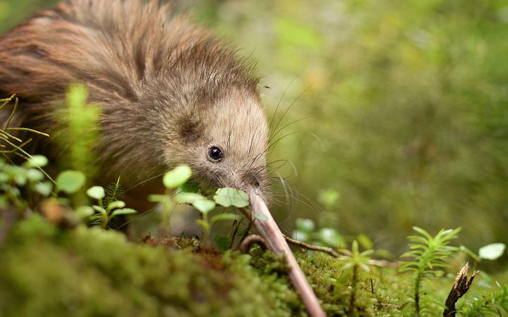 Small kiwi bird in the bush