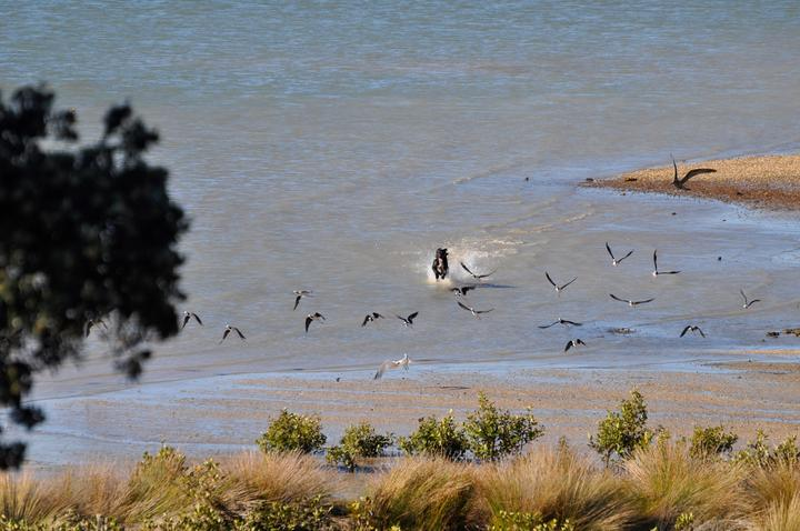 A dog chasing pied stilts and caspian terns on Omaha Beach.