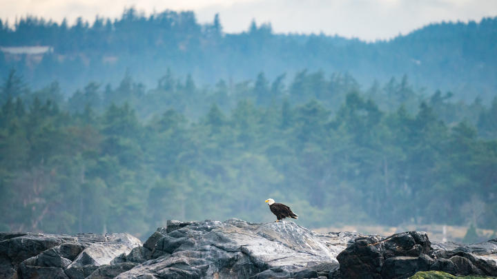 A bald eagle, on Vancouver Island, Canada.