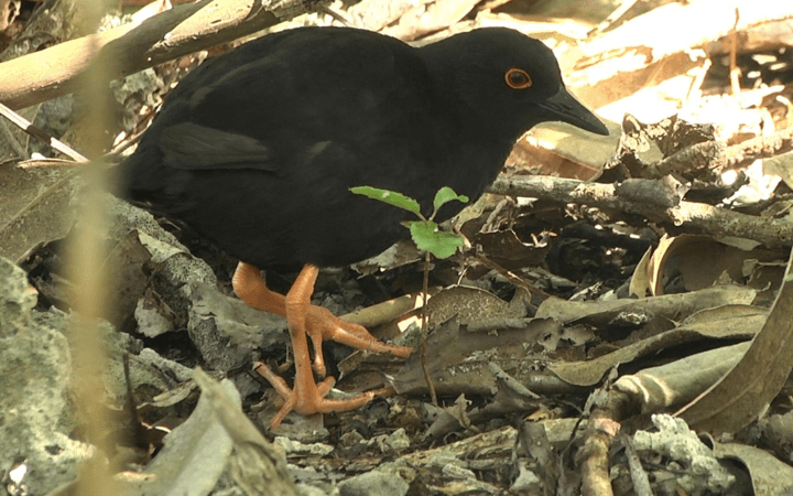 The Henderson crake is a rare species  which lives on only one small Pacific island