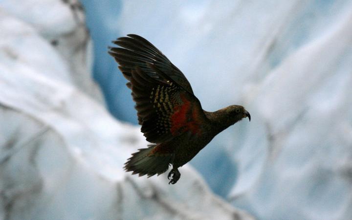 Kea bird, franz josef glacier, new zealand