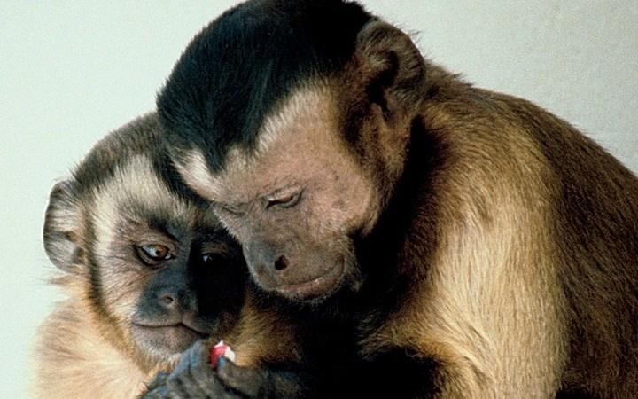 Capuchin Monkeys sharing