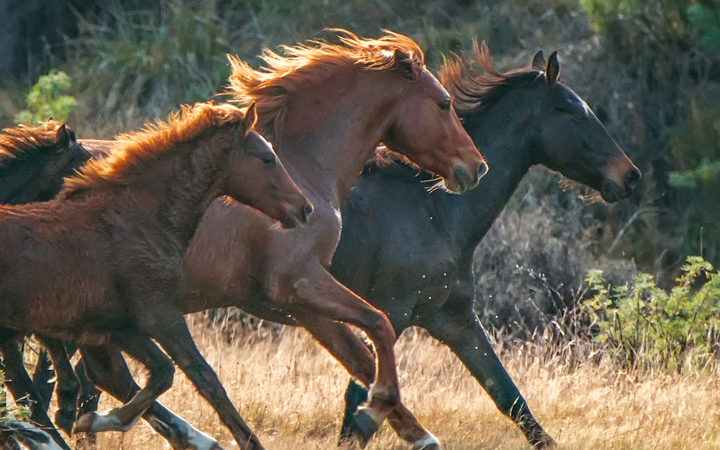 Kaimanawa horses being mustered in 2016.