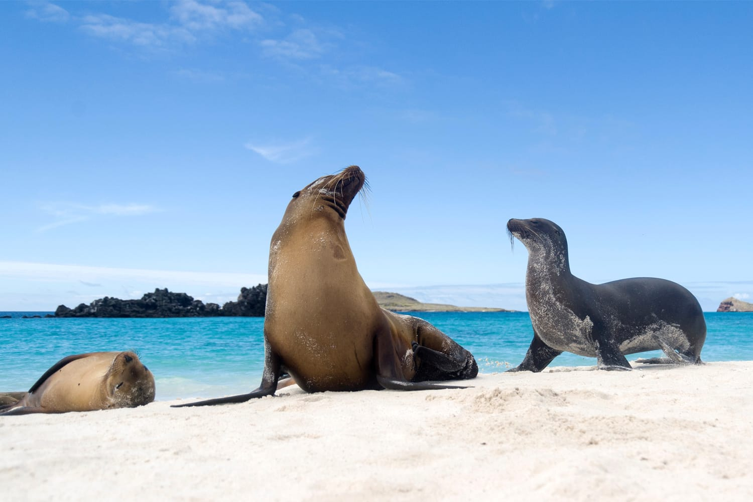 Galapagos sea lions (Zalophus californianus wollebacki) on the beach, Galapagos Islands, Ecuador