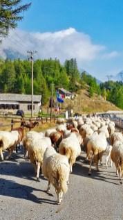 Salita al Colle del Nivolet, gregge di pecore sulla strada