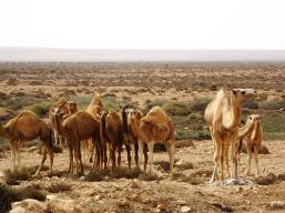 federico-bartolini-transafrica-dromedari-sahara-occidentale