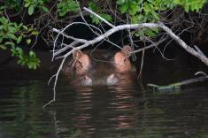 F.Bertolini-Transafrica-ippopotamo