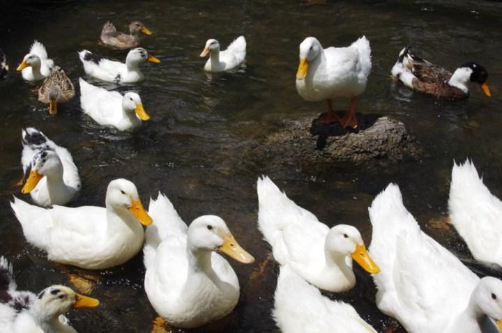 Ihlara Valley - Cappadocia - Turkey - the hungry ducks