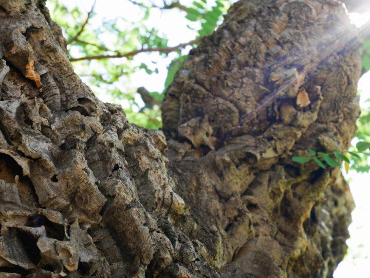 Up close with a cork oak in the massf de l'Esterel, France - Learn more on roadtripsaroundtheworld.com