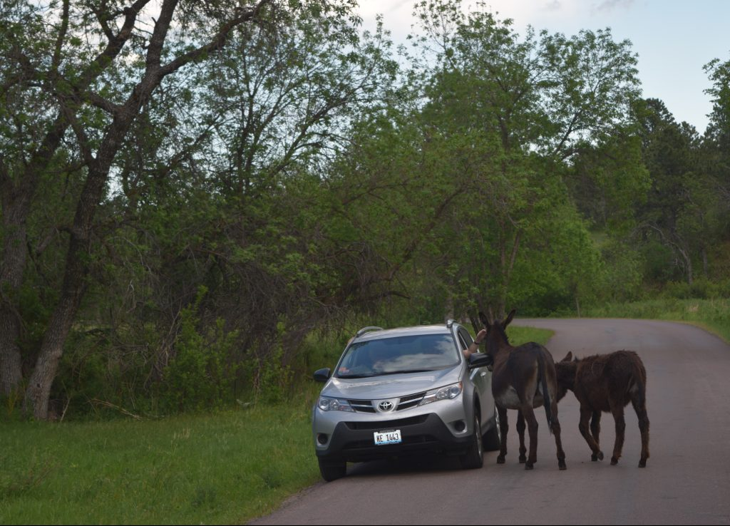 Wild burros Custer State Park