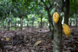 Tetteh Quarshie Cocoa Farm