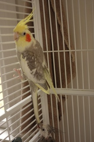 Cockatiel #2 is the dominant one