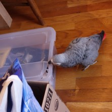 Parrots like to chew on things