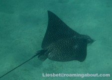 Snorkeling with a spotted eagle ray nearby our boat