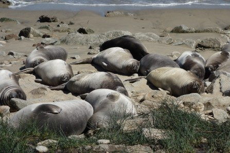 Little beach full of baby elephant seals