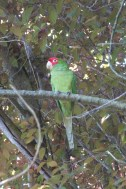 Parrot in a lush city environment near Coit Tower