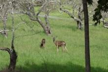 Deer in the neighbor's yard