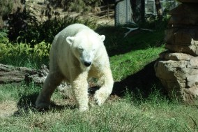 Polar bears and grass - an interesting mix