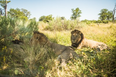 male_lions_resting
