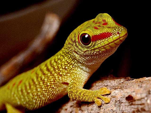 Image result for gecko
