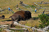 Buffalo (Bison) Photos - Pictures of Buffalo (Bison) in ...