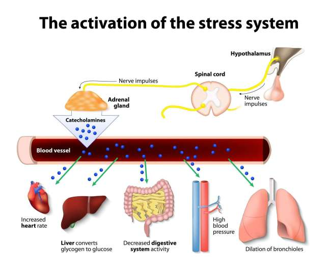 Master anxiety and stress. The activation of the stress system