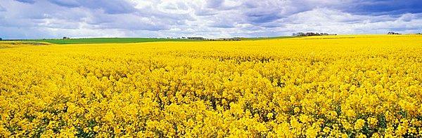 Fields of oil seed rape, near Seahouses, Northumberland, England, United Kingdom, Europe