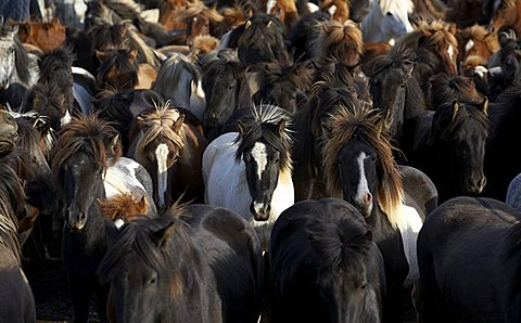Horse round-up or gathering, Icelandic Pure Breed horses, Iceland, Polar Regions