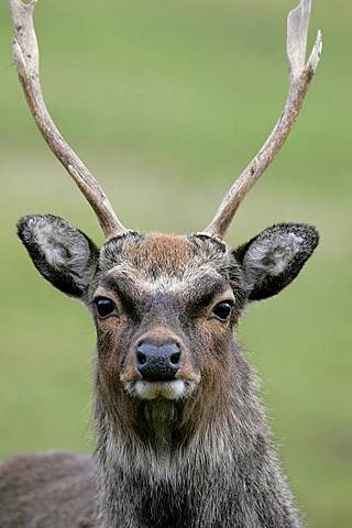 Male stag sika deer cervus nippon with antlers looking at camera close up in field on a small farm holding outside portadown county armagh northern ireland