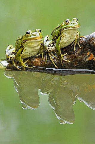 Edible frogs (Rana esculenta) with reflection