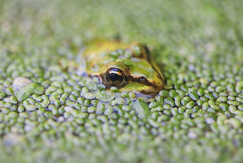 Close-up of European common frog (Rana temporaria), North Brabant, The Netherlands, Europe