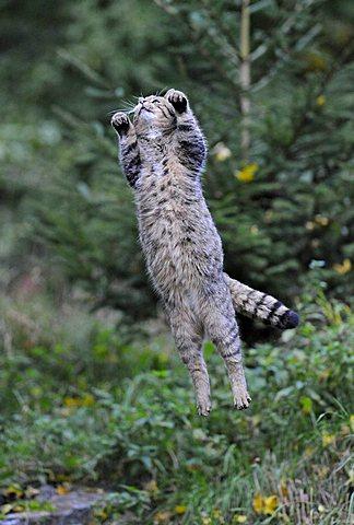 Wild Cat (Felis silvestris) jumping