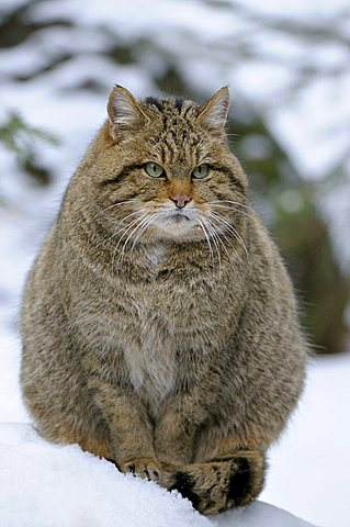Wildcat (Felis silvestris) in the snow, Bavarian Forest, Bavaria, Germany, Europe