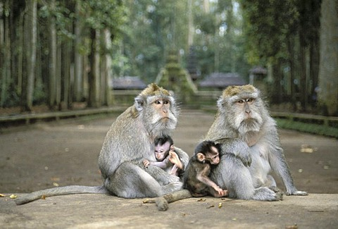 Indonesia, Bali, Ubud, Monkey forest temple, two monkeys sit on concrete with babies
