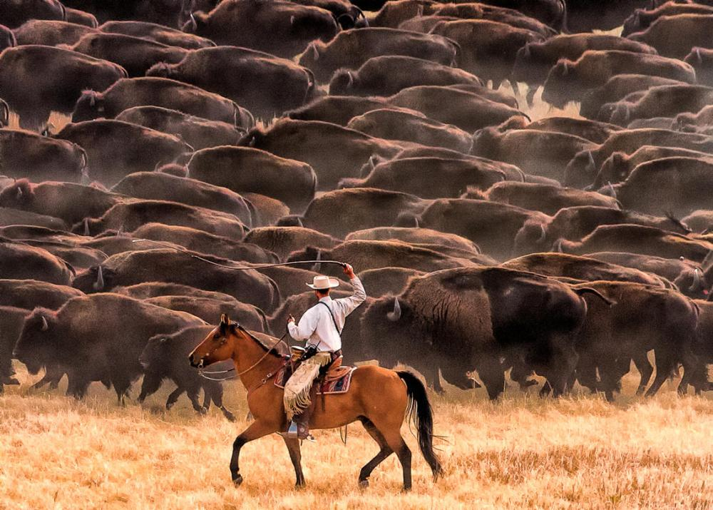 Man on horse rounding up wild buffalo