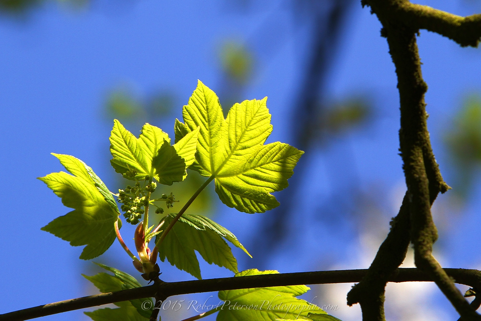 2015-04-21 Green Leaves Robert Peterson Photography-63 1550pxRPP
