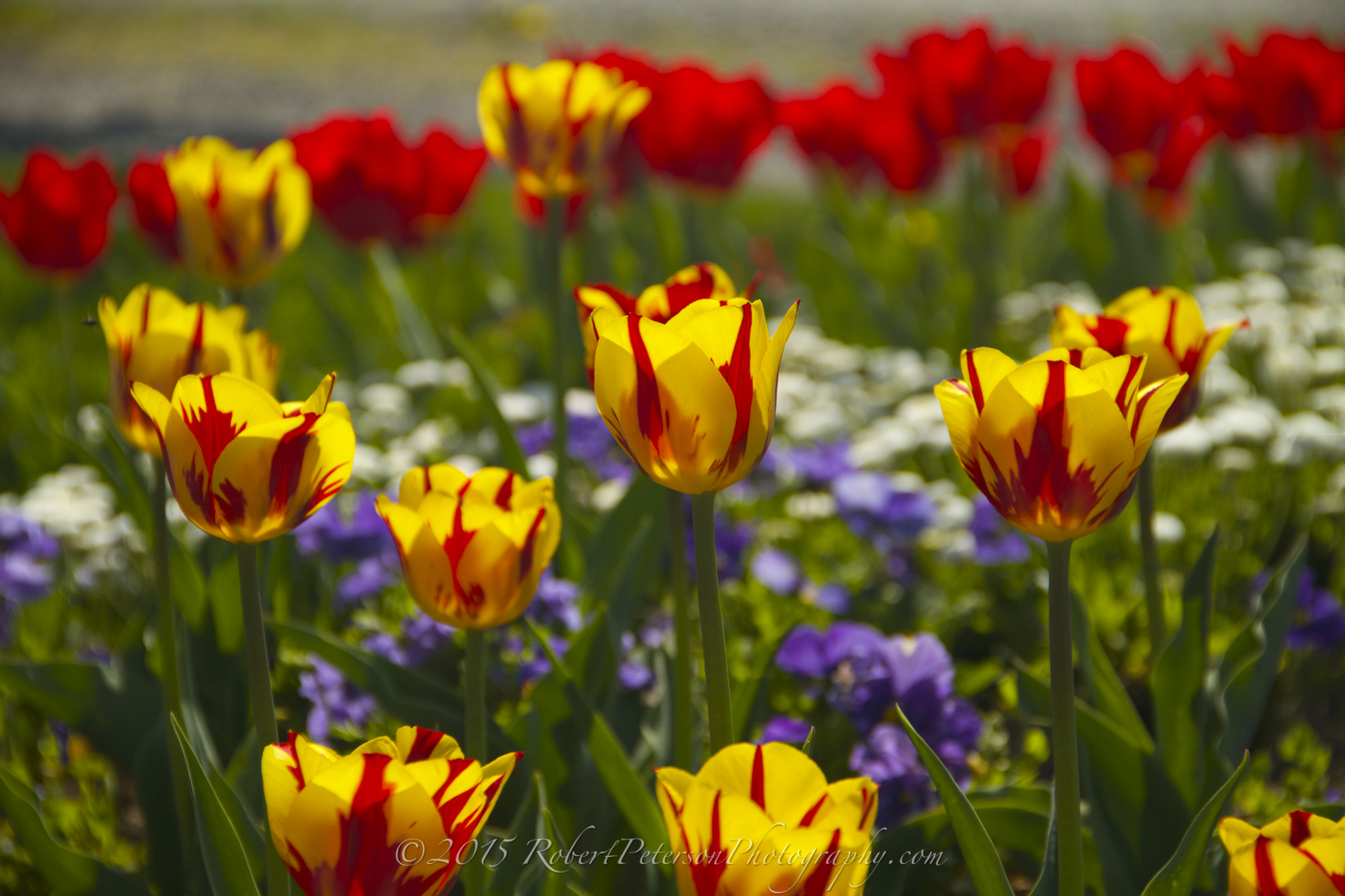 2015-04-24 Sarnen Tulips Robert Peterson Photography-76 1550pxRPP