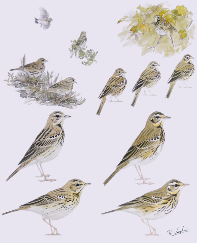 Tree and Olive-Backed Pipits