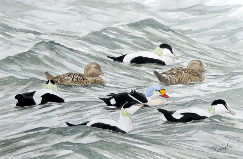 King and Northern Eider